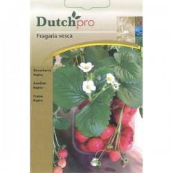 Dutchpro zaden Aardbei